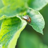stock photo of potato bug  - potato bug eating potatoes leaves in garden - JPG