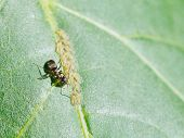 foto of aphid  - ant extracting honeydew from aphids group on leaf of walnut tree close up - JPG