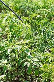 picture of potato bug  - spraying of insecticide on potato plantation in garden in summer - JPG