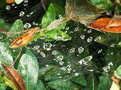 stock photo of cobweb  - rain drops on cobweb between boxwood leaves after rain - JPG