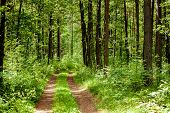 stock photo of dirt road  - Dirt road in the middle of an old forest - JPG