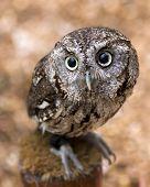image of screech-owl  - closeup portrait of a young screech owl  - JPG