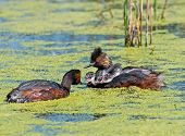 foto of grebe  - On a small marsh in the Alberta prairies Eared Grebe parents care for their fast growing chicks - JPG