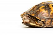image of terrapin turtle  - Eastern box turtle sitting on white background - JPG