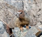 foto of marmot  - A Yellow - JPG