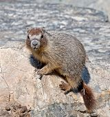 image of marmot  - A Yellow - JPG