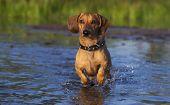 foto of moosehead  - Dachshund runs through the shallows - JPG
