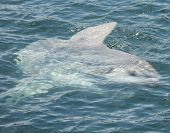 picture of sunfish  - A giant Mola Mola also known as a sunfish