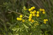 stock photo of tansy  - The yellow blossom of a Tansy  - JPG