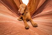 stock photo of coyote  - golden color dog laying in Coyote Butte - JPG