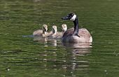stock photo of mother goose  - A Canadian goose swimming with her goslings. ** Note: Shallow depth of field - JPG