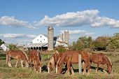 image of feeding horse  - Work horses feeding on an Amish farm in Lancaster CountyPennsylvaniaUSA - JPG