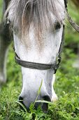 Purebred arabian youngster peacefully grazed on a green lawn poster