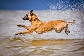 stock photo of belgian shepherd dogs  - red belgian shepherd dog having fun on the beach - JPG