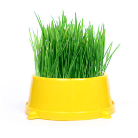 image of eat grass  - Yellow cat bowl with green grass on white background - JPG
