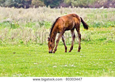 Foal brown on meadow