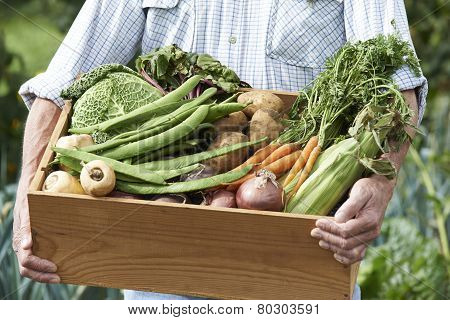 Close Up Of Man On Allotment With Box Of Home Grown Vegetables