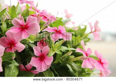 Pink Vinca Rosea