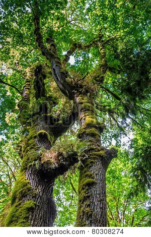 A Beautiful Primeval Rain Forest with Mystical Cedar Trees Covered with Moss