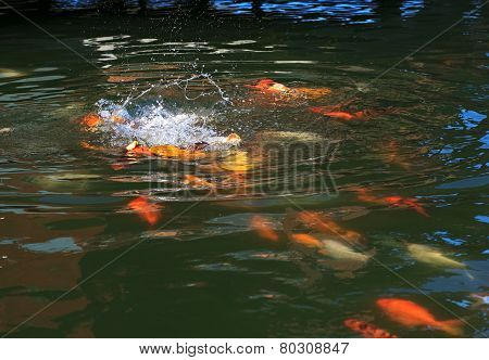 Fish Koi fight for food