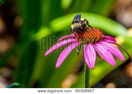 Detailed Closeup of Beautiful Pink or Purple Coneflowers, (Echinacea purpurea), Growing in Texas.