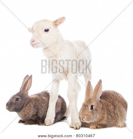 Lamb and rabbits