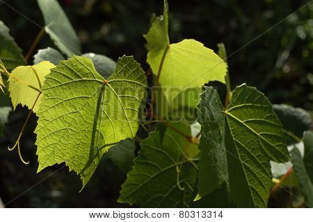 Grape Leafs