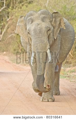 Wild Elephant In Yala National Park, Sri Lanka