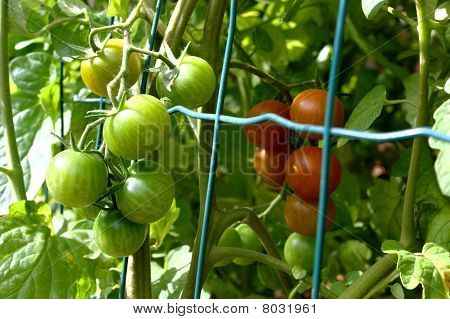 Tender and mature cherry tomato fruit growing