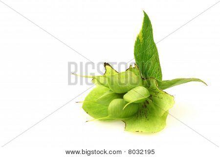 Seedpods of the Helleborus Niger