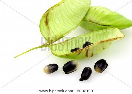 Helleborus Niger pods and seeds
