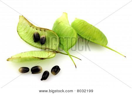 Helleborus Niger pods and seeds