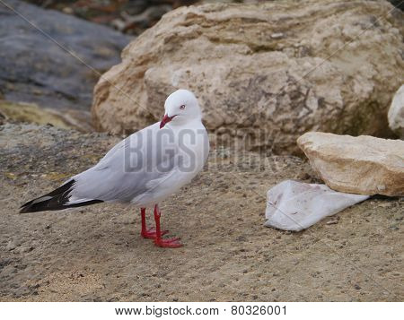 Silver gull or larus novaehollandiae