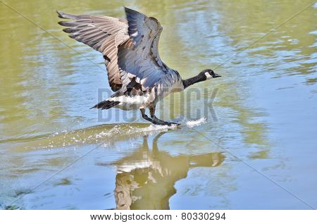 Canada goose landing on a lake.