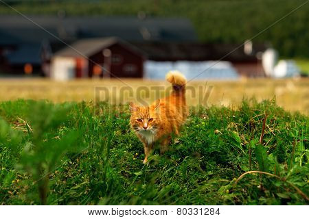 Hunting Ginger Cat