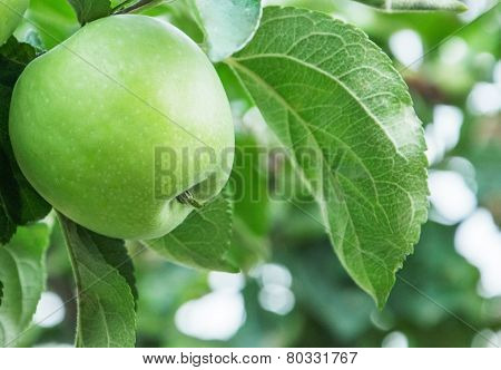 Green Apple On Branch Of The Aple Trees