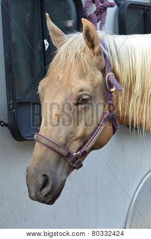Palomino Horse Head