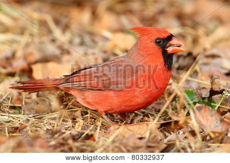 Male Cardinal On Leaves