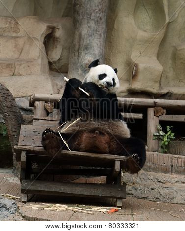Panda Bear Eating Bamboo