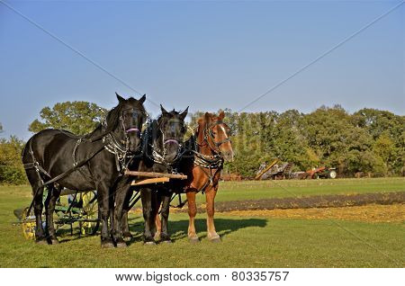 A team of three horses plowing
