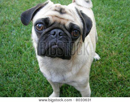 Pug portrait!