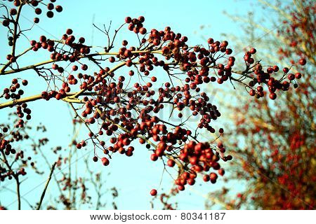 Hawthorn Red Berries On The Branch On Blue Sky