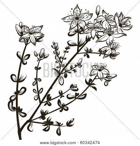 St John's wort flowers