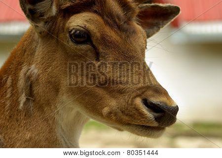 Deer head. Deer doe close up, detailed portrait isolated