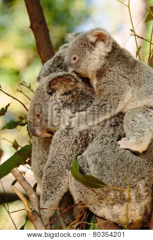 Koalas at Currumbin Wildlife Park