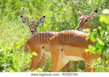 Herd Of Female Impalas