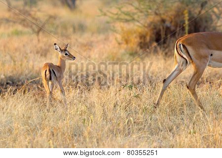 Baby Impala Following The Mother