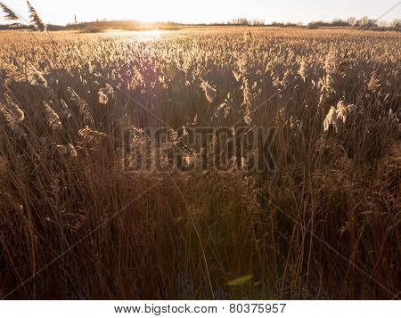 Reed Grass With Golden Light