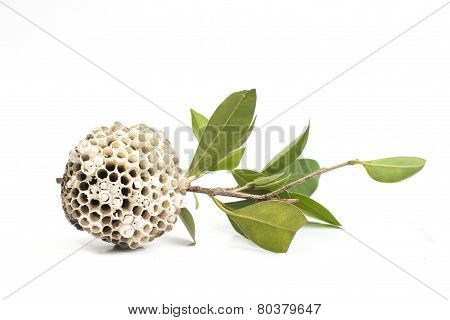 Wasp nest on tree branch