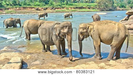 Elephants At Pinnawala Elephant Orphanage, Sri Lanka